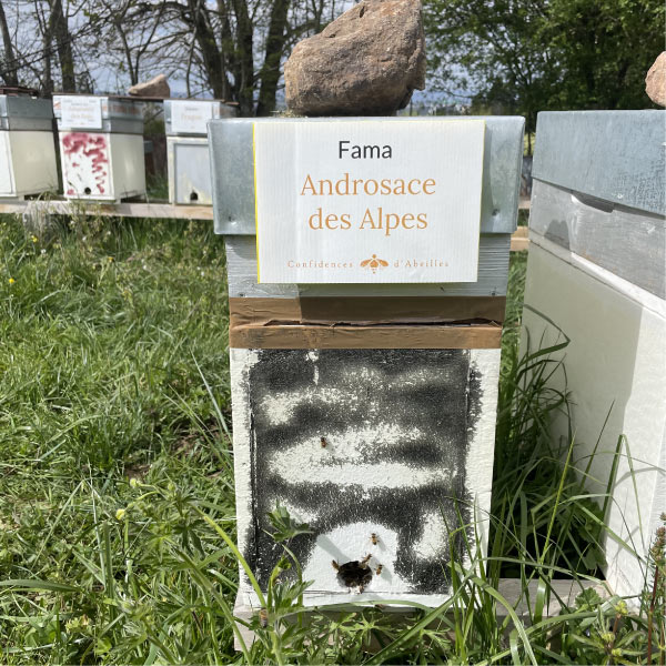 Androsace des Alpes